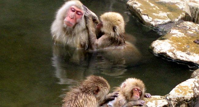 קופי המקוק עדיין חיים בפארק Jigokudani Yaen-koen ביפן ומחכים לכם שתבואו לצלם אותם