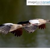 תמונת היום: אווזים עליזים