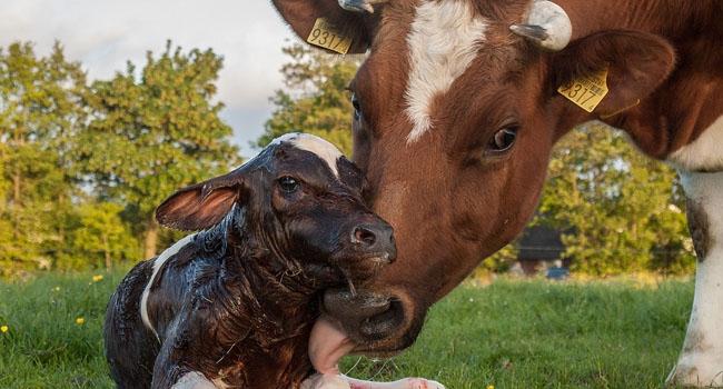 במקום ה-12: לידתו של עגל הולשטיין לפרה אדומה-לבנה. מדובר בזן נדיר שכולל כיום רק כ-300 פריטים. צילום: Uberprutser