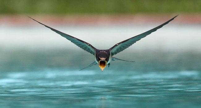 במקום השלישי: סנונית שותה תוך כדי מעוף מעל בריכת שחייה. צילום: sanchezn