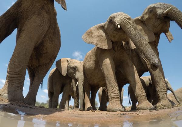 פילים. צילום: BigStock