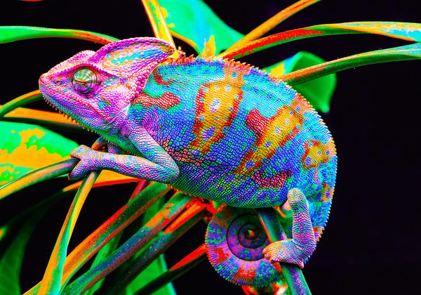 לא זקוקה ל-PhotoChromeleon של MIT. אצלה זה טבעי. זיקית. צילום אילוסטרציה: BigStock