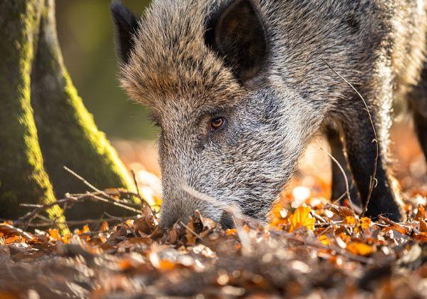 יורה חצים בחזירי בר שלא פגעו בו מעולם. צוקרברג. צילום: BigStock