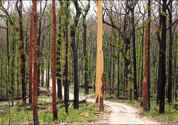 יער אוסטרלי מתאושש אחרי שריפה. צילום: BigStock