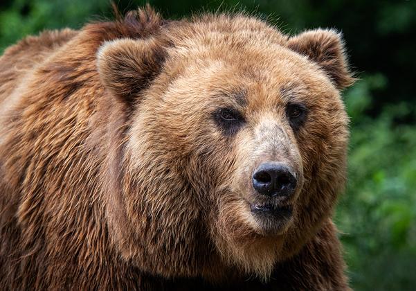 הדוב הרוסי שוב תוקף? צילום: BigStock