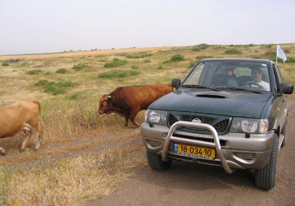 בגולן מכשול טבעי הן גם פרות הבשן המהלכות חופשי חופשי. צילום: פלי הנמר