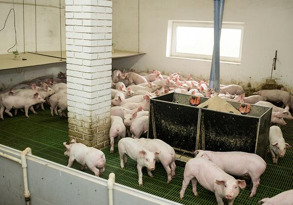 וואווי רוצה להזריק חדשנות לתעשיית גידול החזירים. צילום: Bigstock
