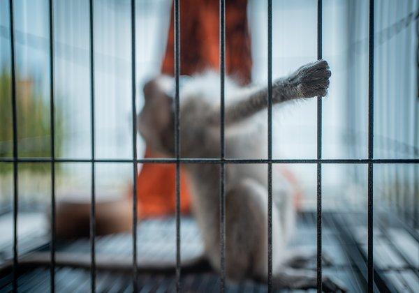 האם הוא מאושר? קוף אקראי במעבדת ניסויים. צילום אילוסטרציה: BigStock