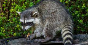 דביבון: החיה נוברת בזבל; התוכנה - במחשבי הקורבנות. צילום אילוסטרציה: BigStock
